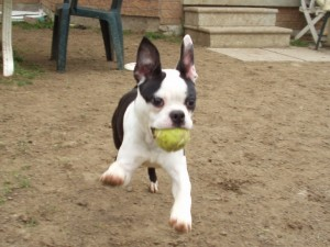 Boston Terrier Playing Fetch