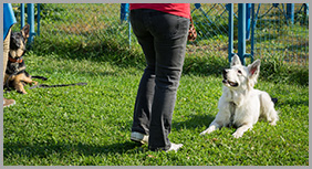 A White Dog Attending Dog Training Course in Georgina