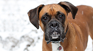 Winter Dog Safety Tips