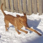 A dog running on snow