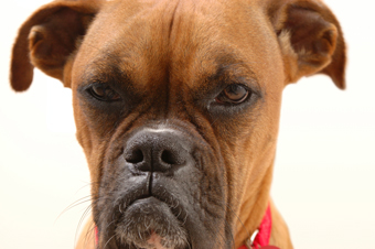 An annoyed boxer dog
